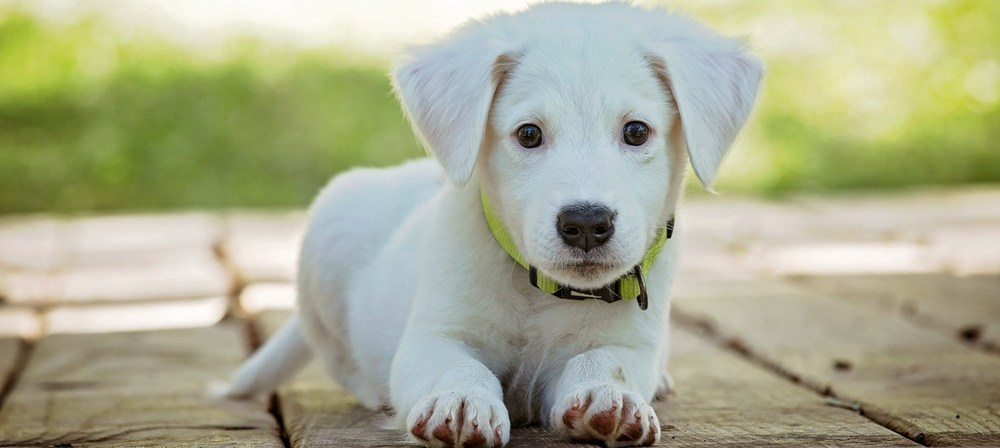 Vyberame psa podla plemena_Labrador retriever stena