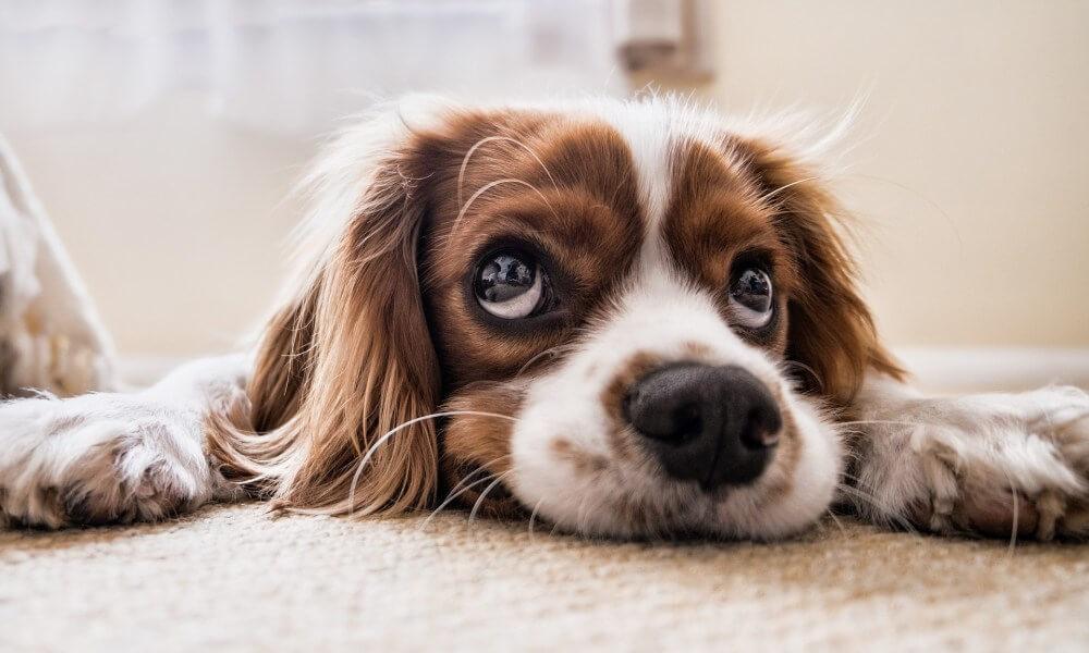 Psie plemena - Cavalier